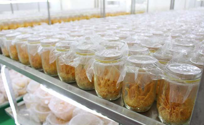 Quá trình nuôi trồng Đông trùng hạ thảo Việt Nam được tiến hành trong phòng thí nghiệm