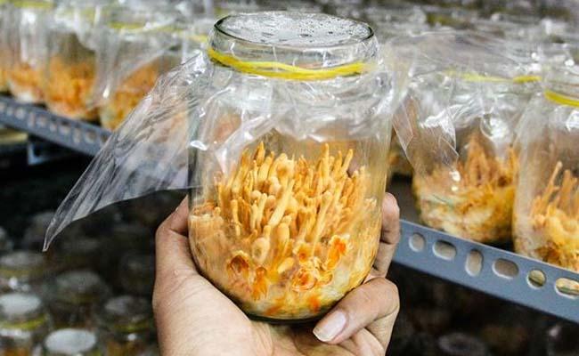 Quá trình nuôi cấy Đông trùng hạ thảo Đà Lạt cần tuân thủ nhiều điều kiện nghiêm ngặt