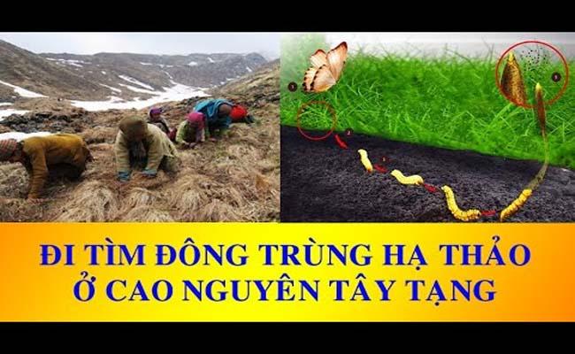 Đông trùng hạ thảo tự nhiên ở Tây Tạng vô cùng nổi tiếng