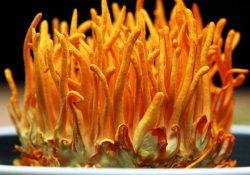 Đông trùng hạ thảo - Vị thuốc quý cho mọi nhà