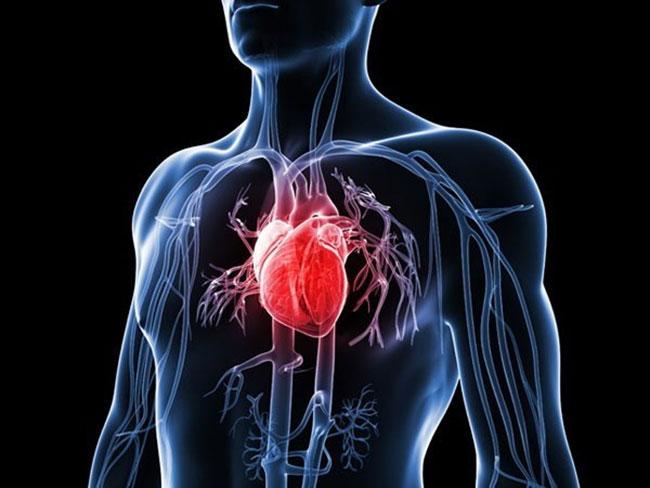 Đông trùng hạ thảo cải thiện hệ thống tim mạch