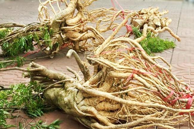 Rễ đinh lăng - Tăng cường sinh lực phái mạnh